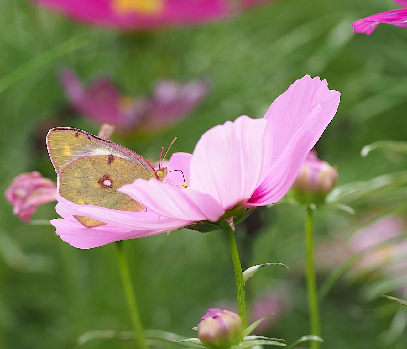 300ミリで撮ってみたトンボと蝶(2017年10月6日)_d0303129_1429239.jpg