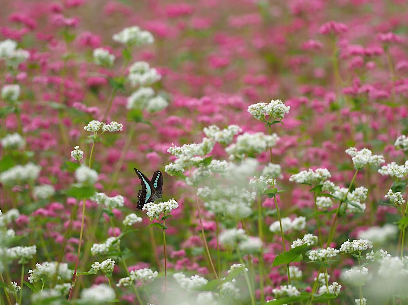 300ミリで撮ってみたトンボと蝶(2017年10月6日)_d0303129_14292518.jpg
