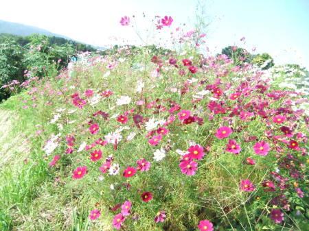 秋桜は超(蝶)満開..._b0137932_16443796.jpg
