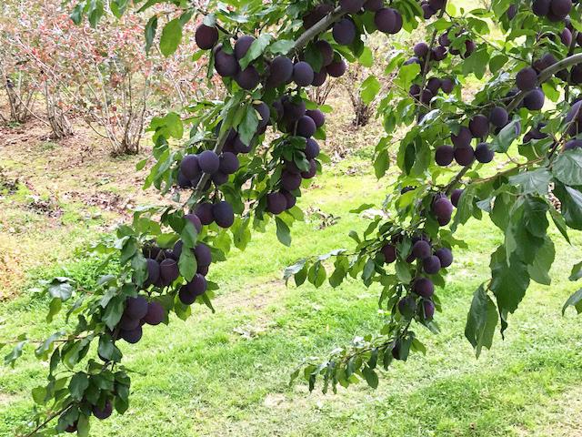 収穫の秋/プルーン_c0189970_08030207.jpg