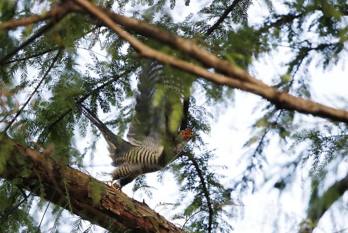 渡りの立ち寄りの鳥を その8(カッコウ)_f0239515_19111161.jpg