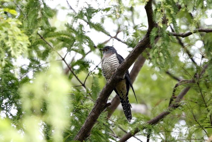 渡りの立ち寄りの鳥を その8(カッコウ)_f0239515_19114383.jpg