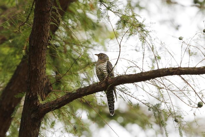 渡りの立ち寄りの鳥を その8(カッコウ)_f0239515_19212785.jpg