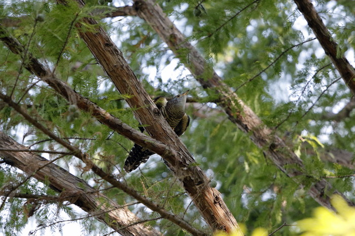 渡りの立ち寄りの鳥を その8(カッコウ)_f0239515_1981852.jpg