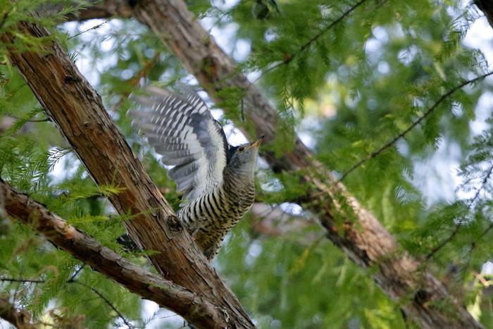 渡りの立ち寄りの鳥を その8(カッコウ)_f0239515_1985452.jpg
