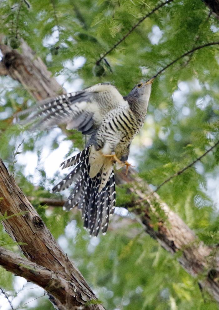 渡りの立ち寄りの鳥を その8(カッコウ)_f0239515_1992187.jpg