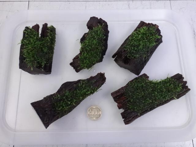 171012 熱帯魚・めだか・金魚・水草・観葉植物_f0189122_13184492.jpg