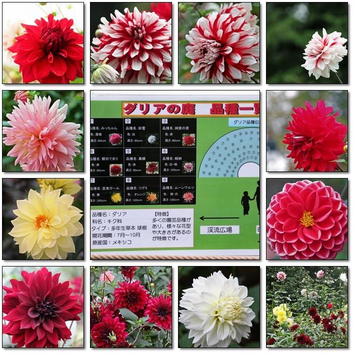 昭和記念公園のダリアの花を撮影(^^♪_e0052135_18043774.jpg
