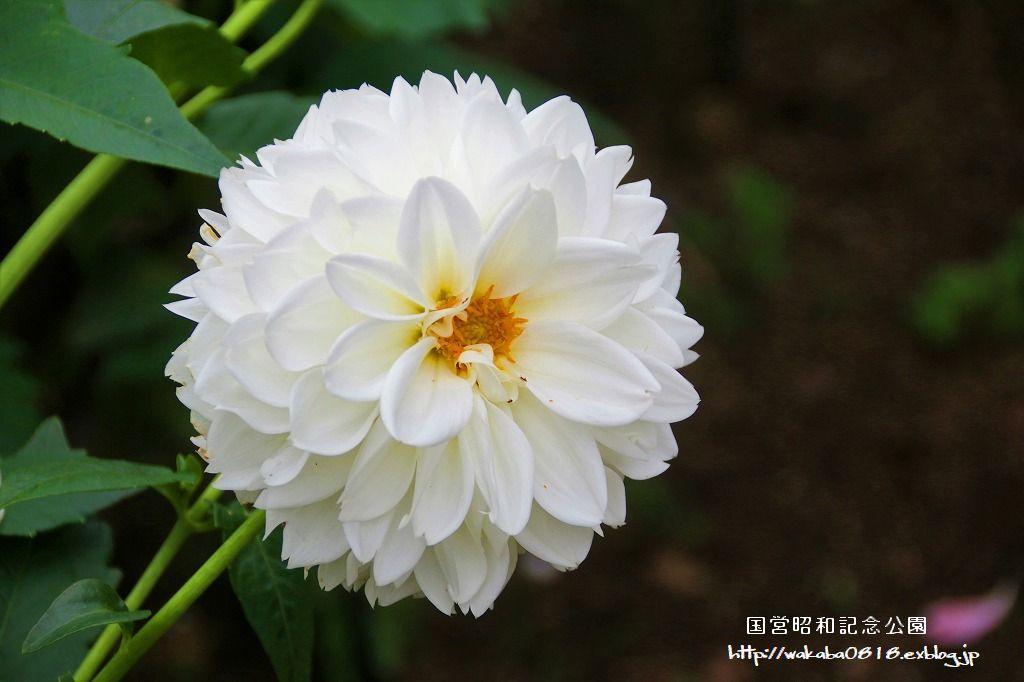 昭和記念公園のダリアの花を撮影(^^♪_e0052135_18044716.jpg