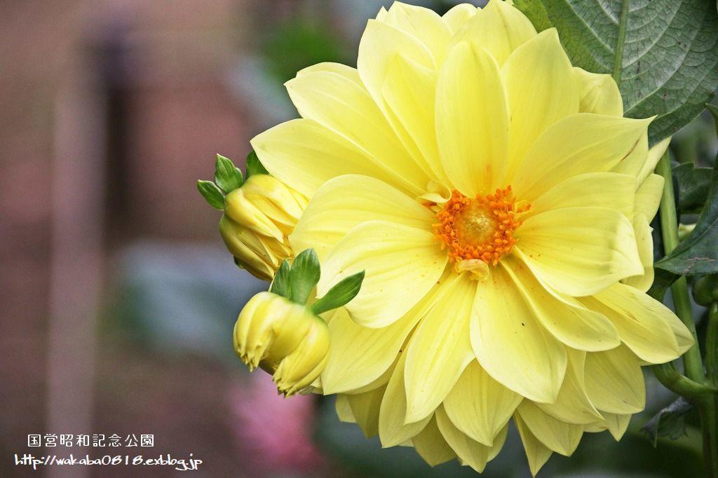 昭和記念公園のダリアの花を撮影(^^♪_e0052135_18045138.jpg