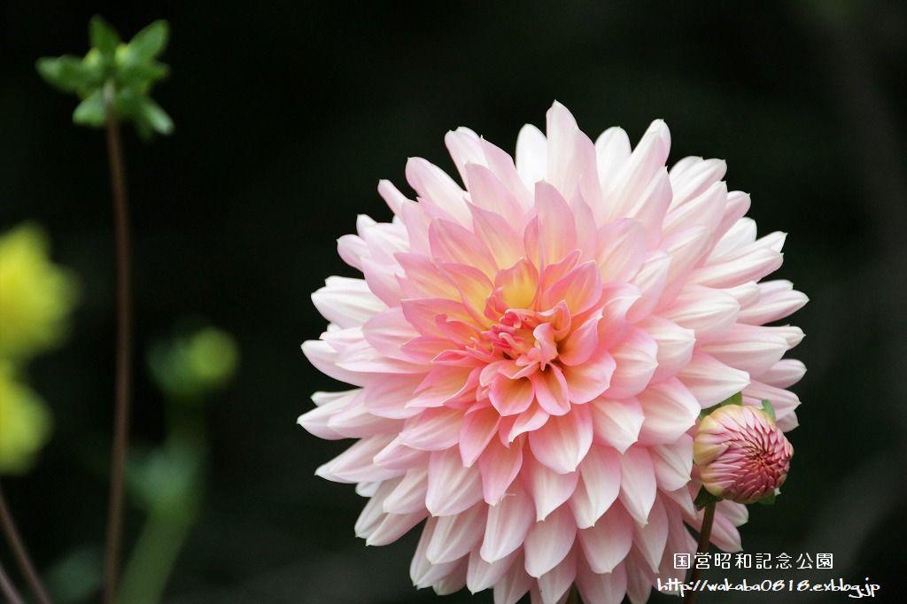 昭和記念公園のダリアの花を撮影(^^♪_e0052135_18045812.jpg
