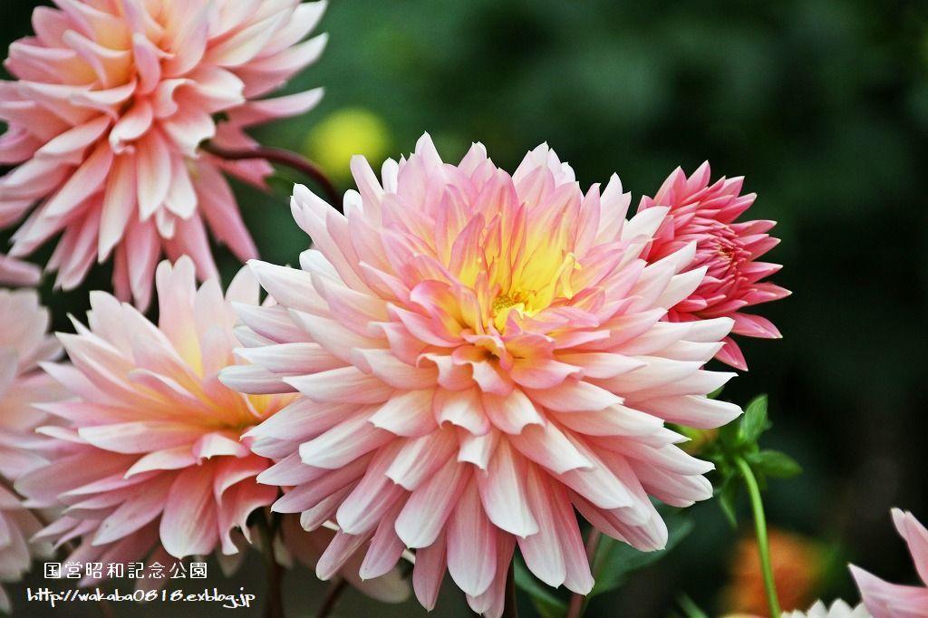 昭和記念公園のダリアの花を撮影(^^♪_e0052135_18050260.jpg