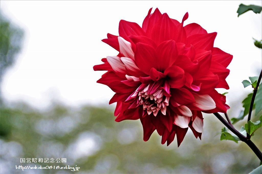 昭和記念公園のダリアの花を撮影(^^♪_e0052135_18050892.jpg
