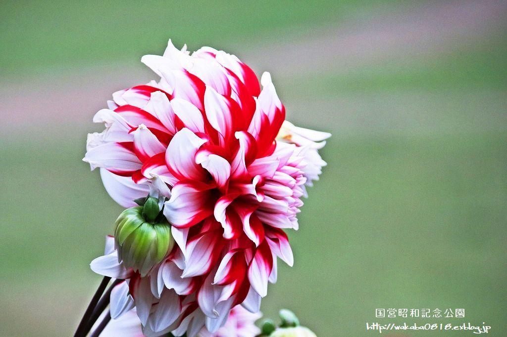 昭和記念公園のダリアの花を撮影(^^♪_e0052135_18051129.jpg