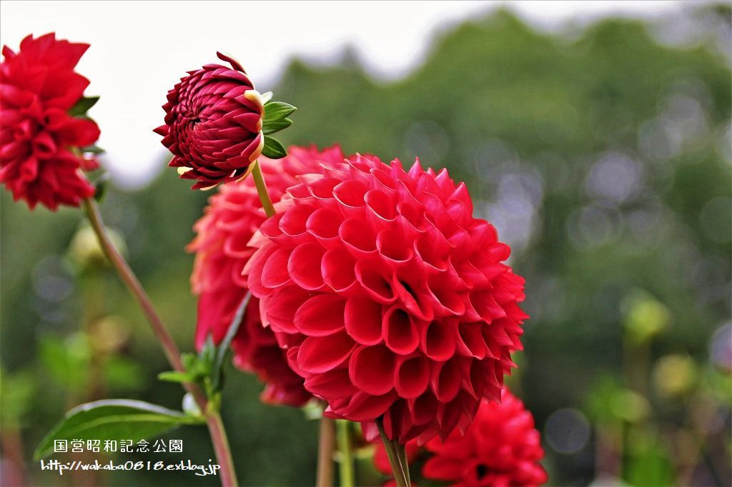 昭和記念公園のダリアの花を撮影(^^♪_e0052135_18051602.jpg