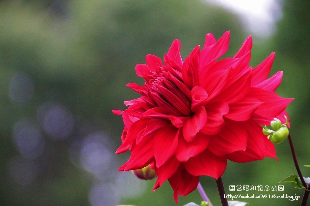 昭和記念公園のダリアの花を撮影(^^♪_e0052135_18051912.jpg