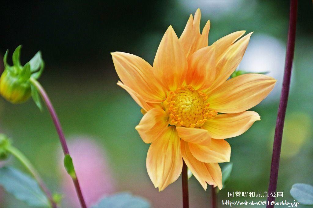 昭和記念公園のダリアの花を撮影(^^♪_e0052135_18080046.jpg