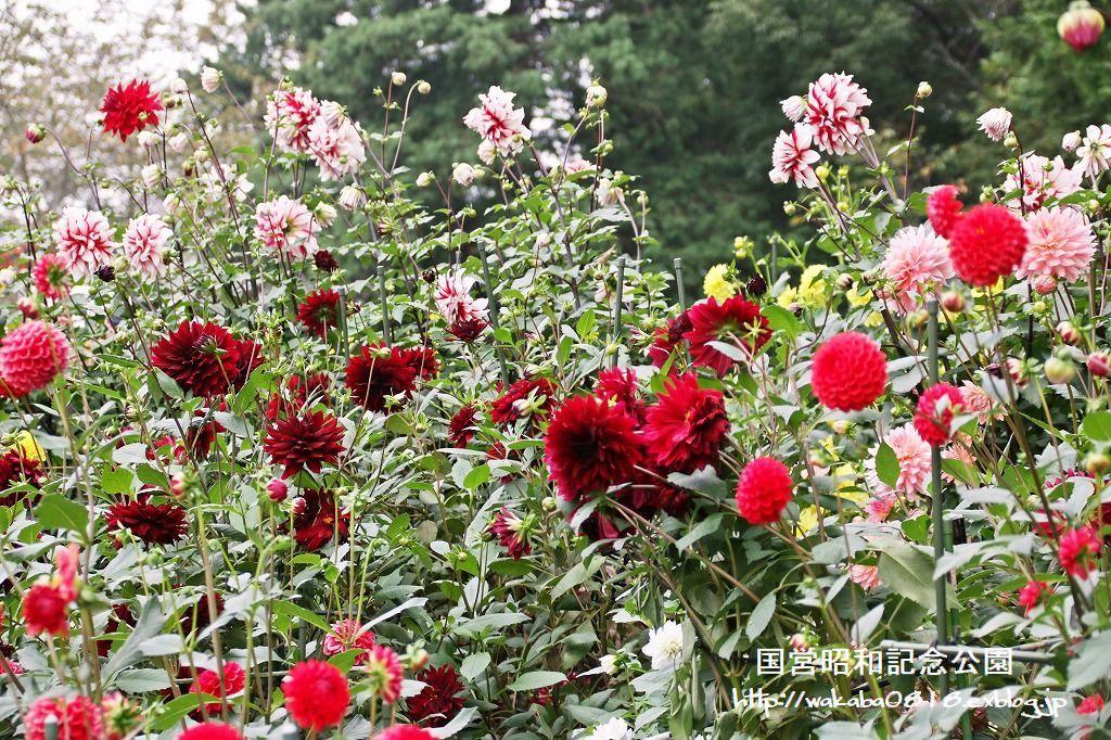 昭和記念公園のダリアの花を撮影(^^♪_e0052135_18080592.jpg