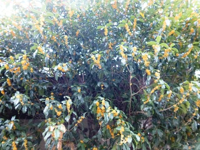 金木犀(キンモクセイ)の香り2_e0230141_11132835.jpg