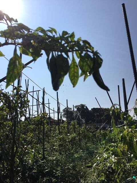 今朝は 蚕豆の畝作りの堆肥の運び入れです_c0222448_14524709.jpg