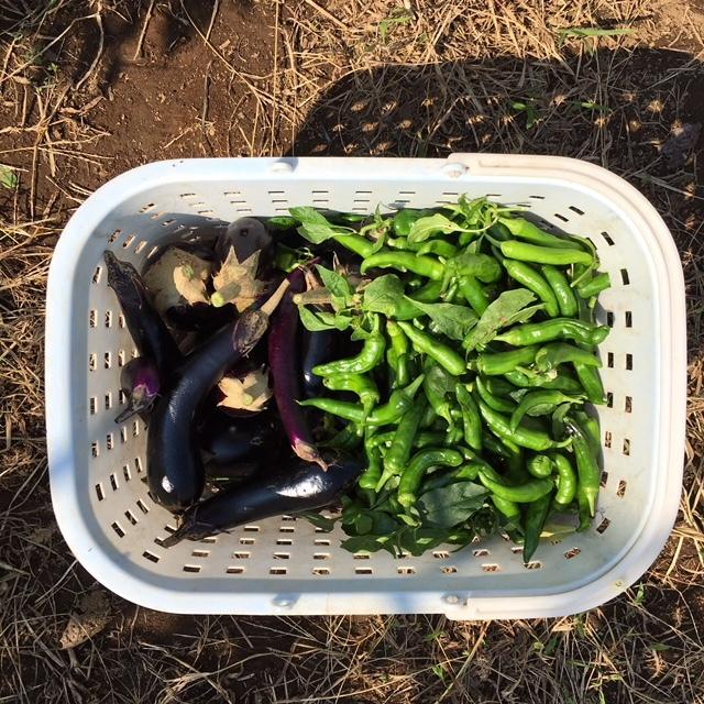 今朝は 蚕豆の畝作りの堆肥の運び入れです_c0222448_14530446.jpg