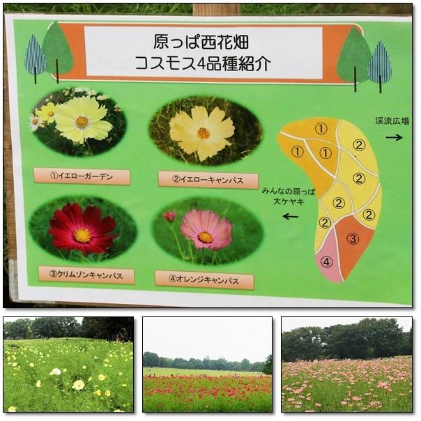 昭和記念公園のコスモス畑を楽しむ(^^♪_e0052135_17463019.jpg