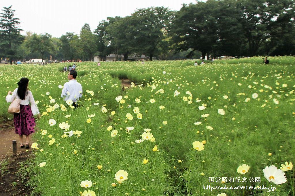 昭和記念公園のコスモス畑を楽しむ(^^♪_e0052135_17465710.jpg