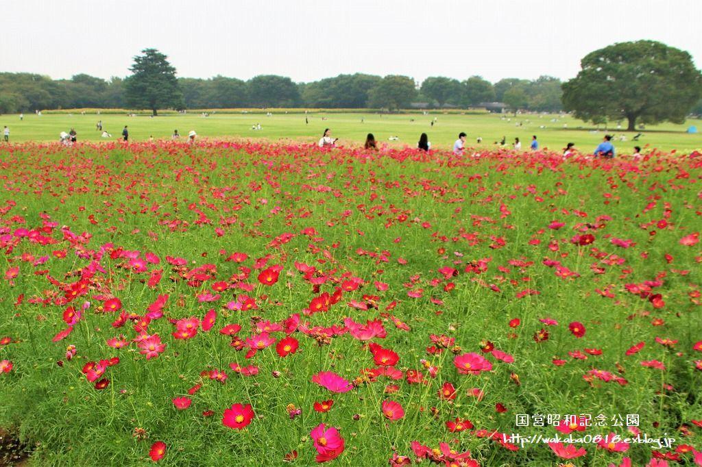 昭和記念公園のコスモス畑を楽しむ(^^♪_e0052135_17470307.jpg