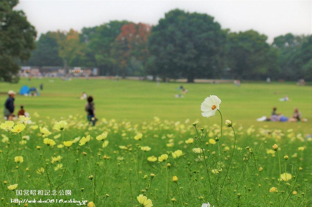 昭和記念公園のコスモス畑を楽しむ(^^♪_e0052135_17470982.jpg