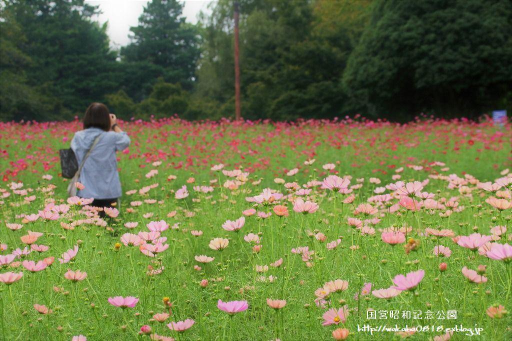 昭和記念公園のコスモス畑を楽しむ(^^♪_e0052135_17471857.jpg