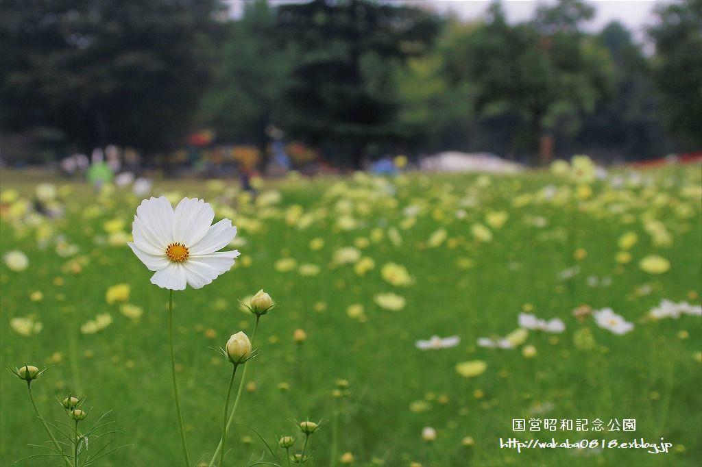 昭和記念公園のコスモス畑を楽しむ(^^♪_e0052135_17472115.jpg
