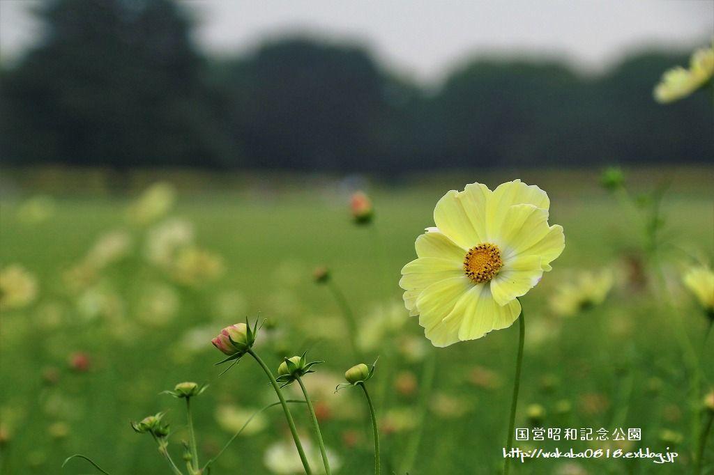 昭和記念公園のコスモス畑を楽しむ(^^♪_e0052135_17472541.jpg