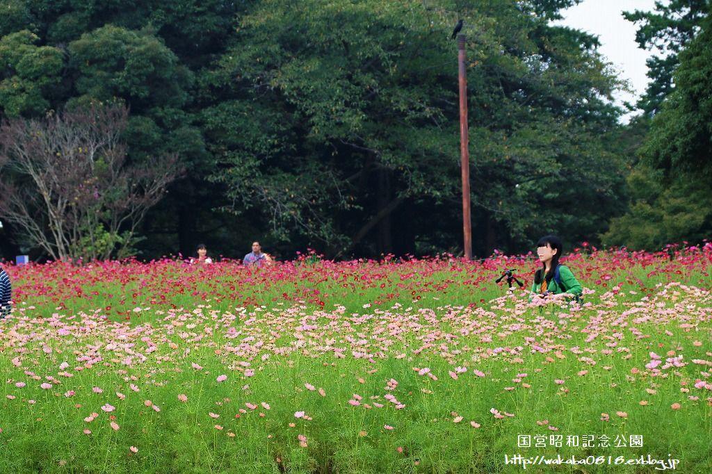 昭和記念公園のコスモス畑を楽しむ(^^♪_e0052135_17472850.jpg