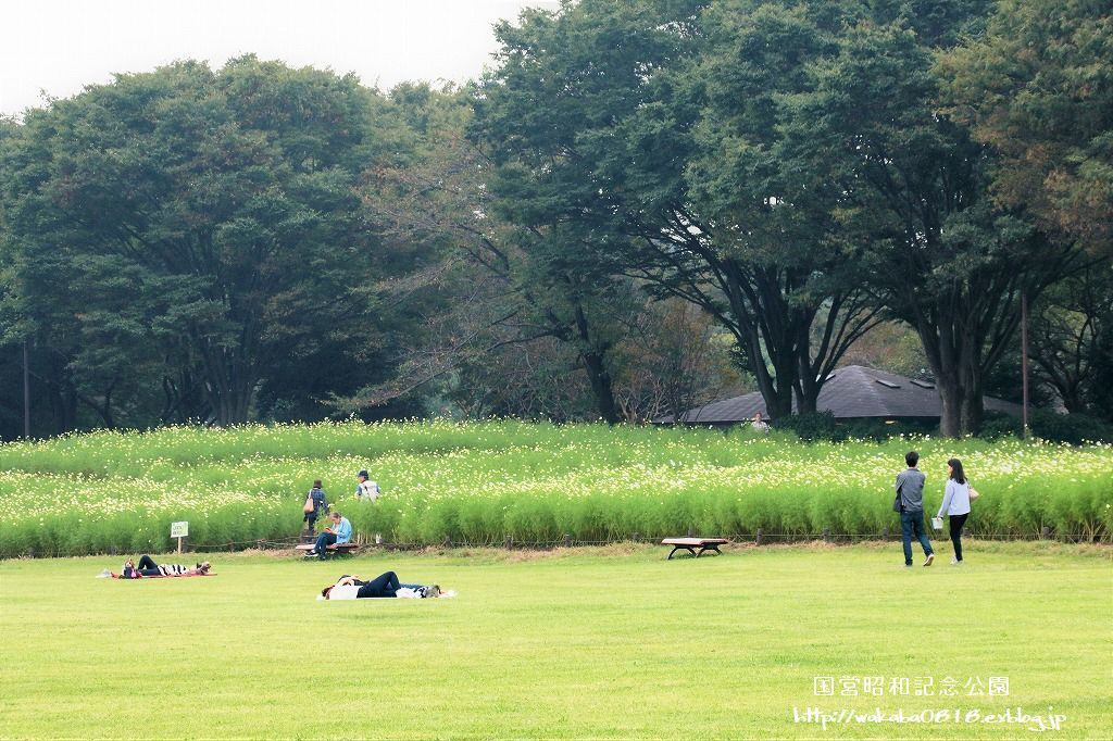 昭和記念公園のコスモス畑を楽しむ(^^♪_e0052135_17473111.jpg