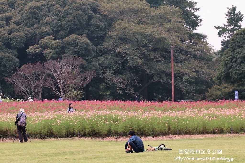 昭和記念公園のコスモス畑を楽しむ(^^♪_e0052135_17473472.jpg