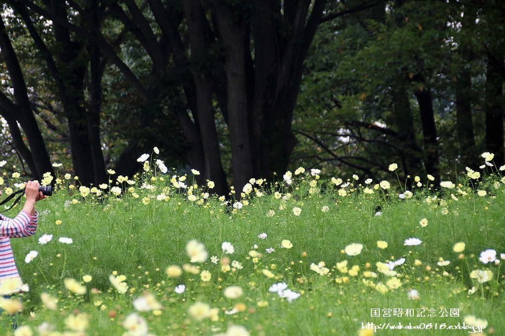 昭和記念公園のコスモス畑を楽しむ(^^♪_e0052135_17475776.jpg