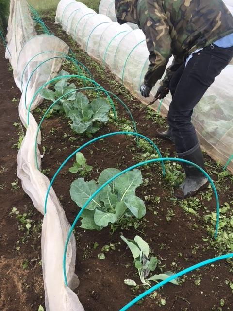 本日は雨のため 土の耕しは延期・・畝の雑草刈りです 鎌で土の中に刃を入れるように_c0222448_11251148.jpg