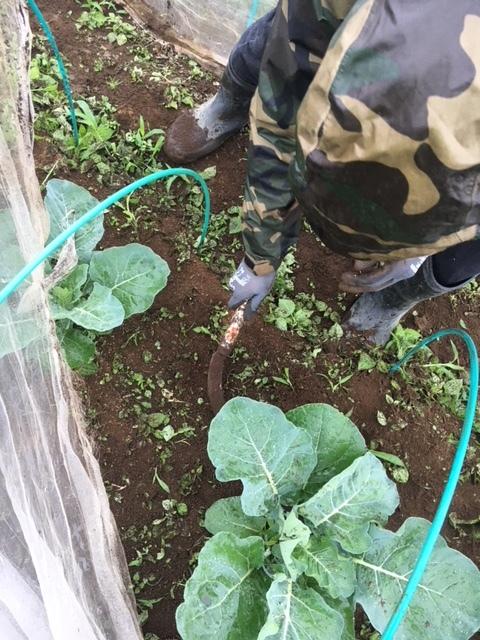 本日は雨のため 土の耕しは延期・・畝の雑草刈りです 鎌で土の中に刃を入れるように_c0222448_11252791.jpg