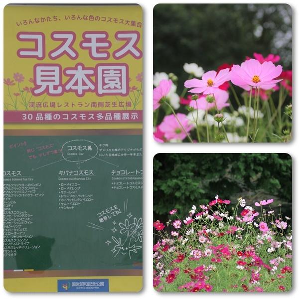 昭和記念公園のコスモス見本園とキバナコスモス畑_e0052135_17081156.jpg