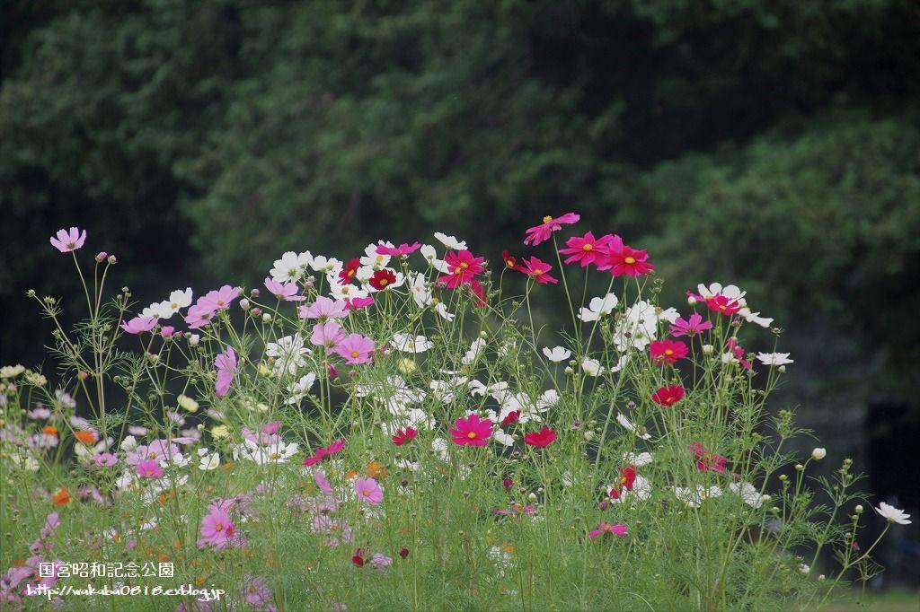 昭和記念公園のコスモス見本園とキバナコスモス畑_e0052135_17084954.jpg