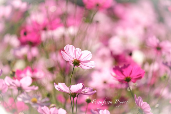 歌う秋桜 **_d0344864_18051887.jpg