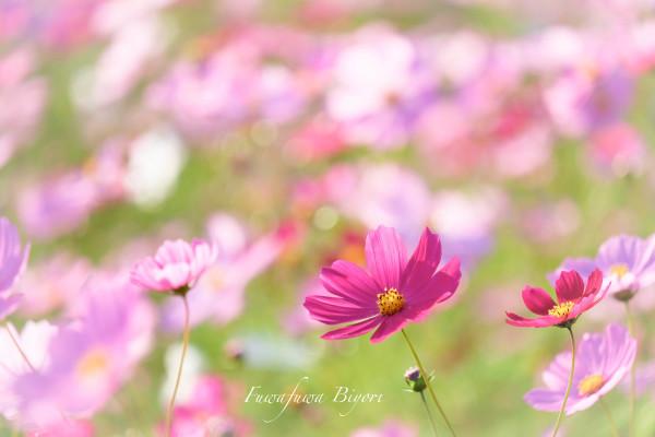 歌う秋桜 **_d0344864_18052695.jpg
