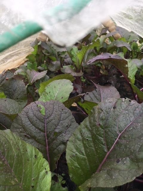今朝も雨 蚕豆の畝づくりは延期します 各畝の一部 画像をUPします_c0222448_11424174.jpg