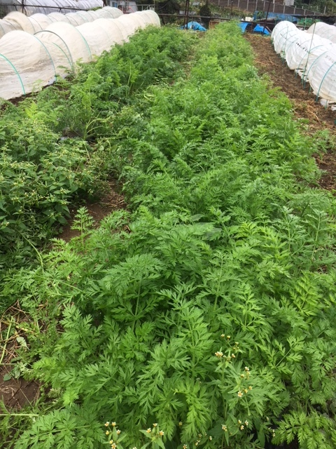 今朝も雨 蚕豆の畝づくりは延期します 各畝の一部 画像をUPします_c0222448_11425457.jpg