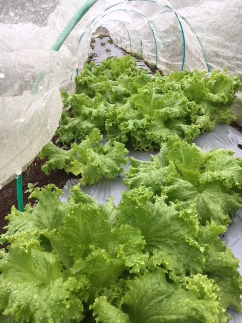 今朝も雨 蚕豆の畝づくりは延期します 各畝の一部 画像をUPします_c0222448_11461719.jpg