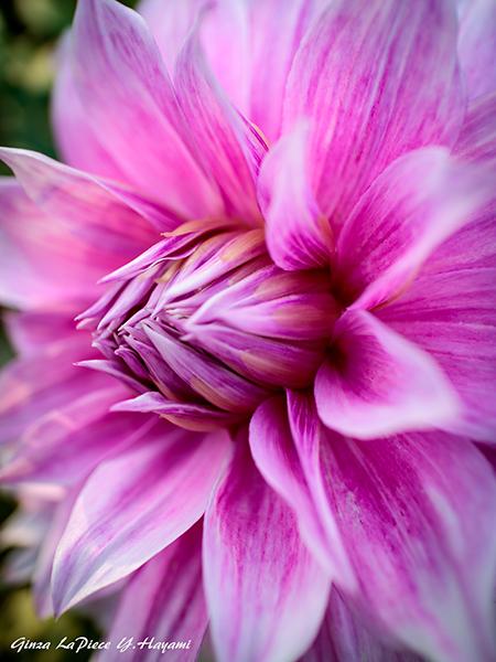 花のある風景 ダリアの花先_b0133053_00321626.jpg
