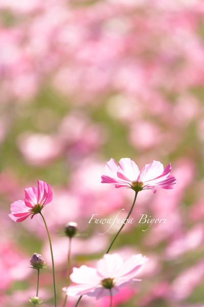歌う秋桜 **_d0344864_18103988.jpg