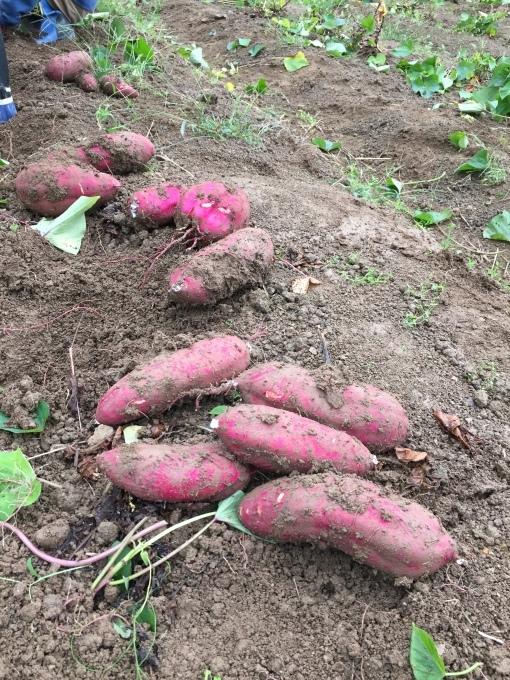 さつまいも収穫2017_d0182179_22083619.jpeg