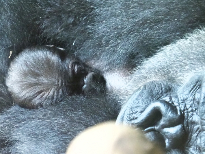 モモコさんの赤ちゃんに魂を抜かれた日 上野動物園2017/10/14 - ヒトのたぐい ゴリラと愉快な仲間たち