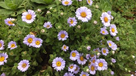ダルマギクが咲いています_b0214473_8352457.jpg